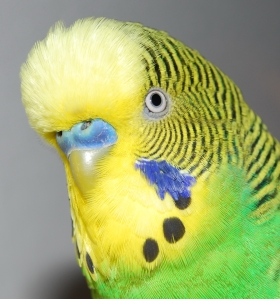 Detail_shot_of_budgerigars_head