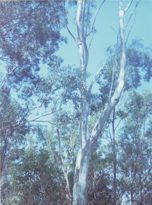 koala asleep in the tree