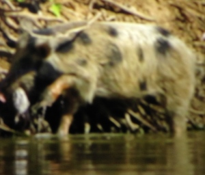 similar pig (but mine was even uglier) taken by Christopher Hume Invasive Animals CRC